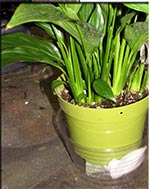 image of wick sub-irrigation in pothos container - instant sub-irrigation
